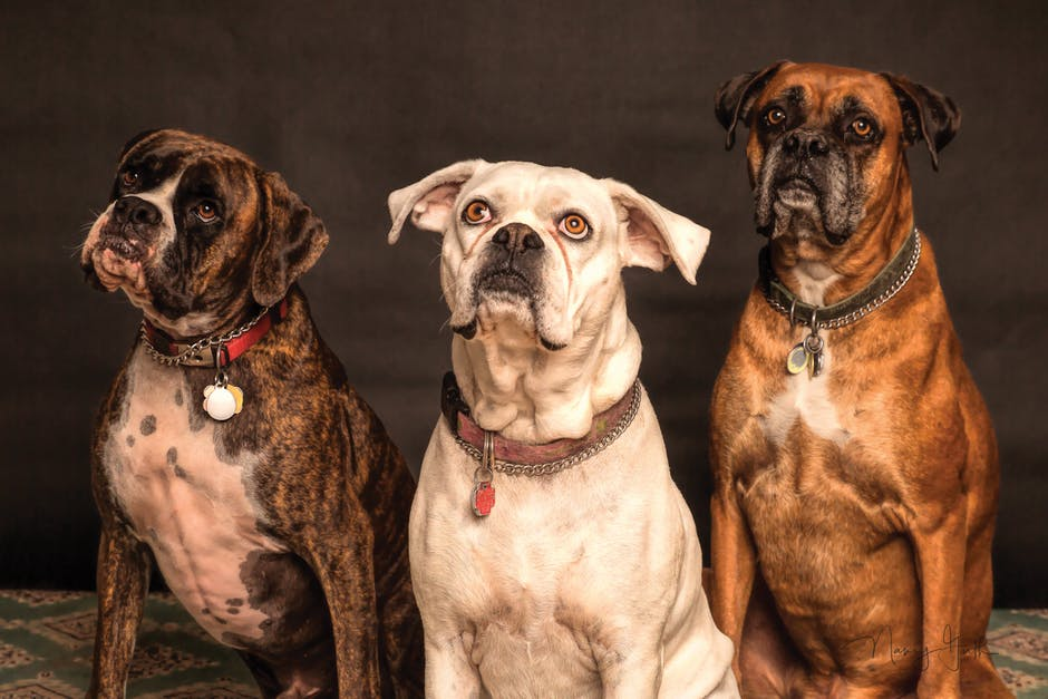pastuchy na duże bezpańskie psy