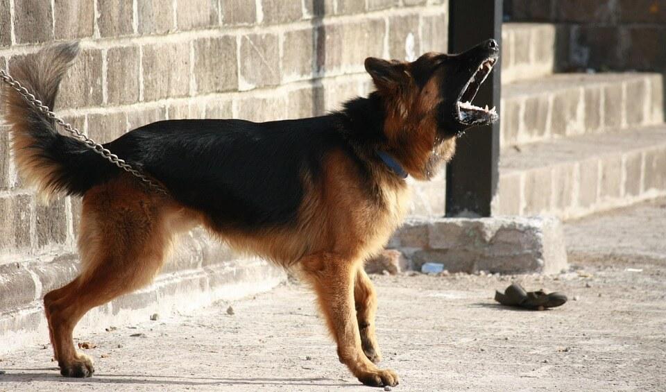 agresywny pies na posesji